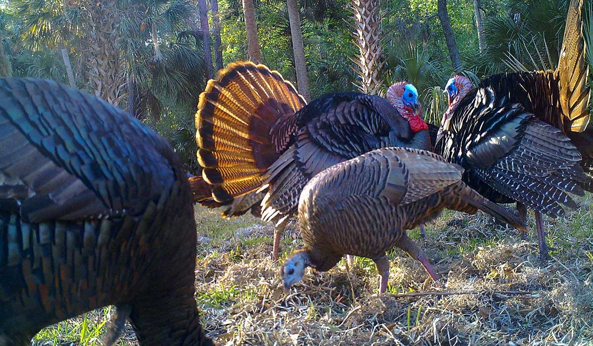 Turkey Trail Camera Photo