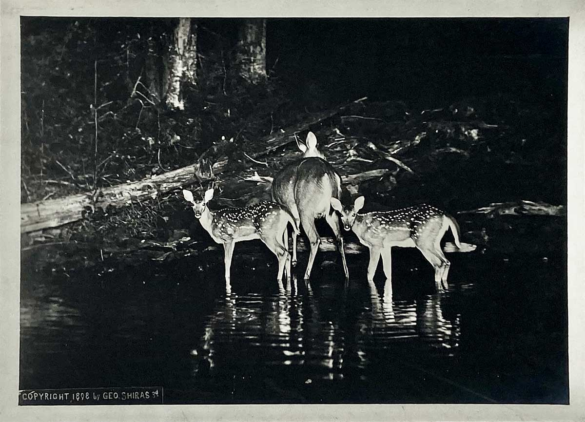 A doe and two fawns from the late 1800s