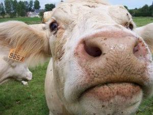 ppc cows
