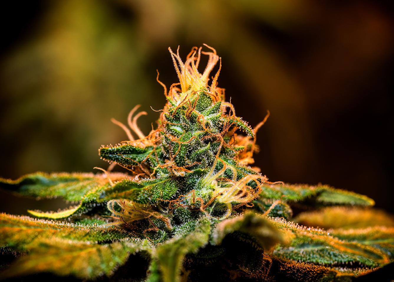 A closeup of cannabis flower.