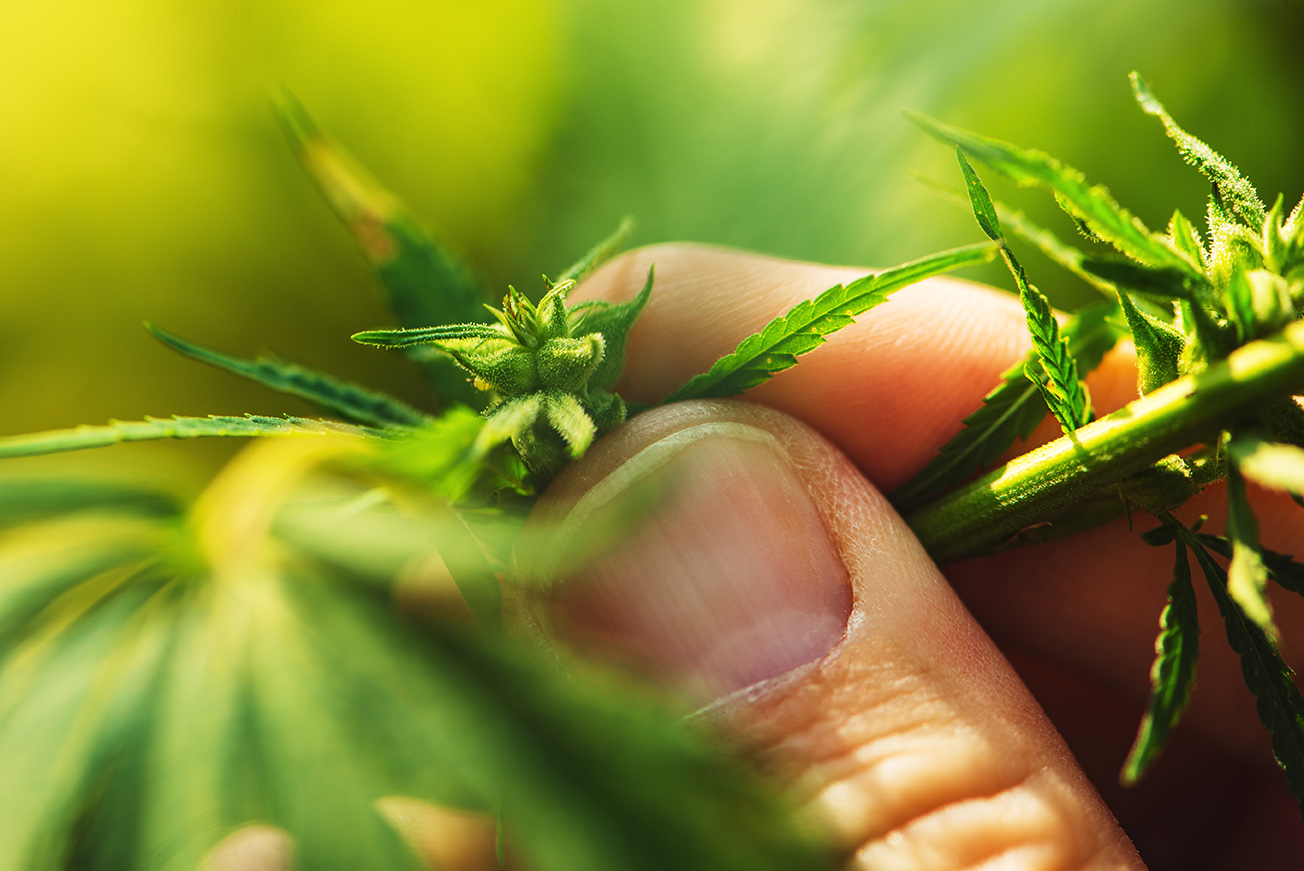 A person holds a living cannabis plant.