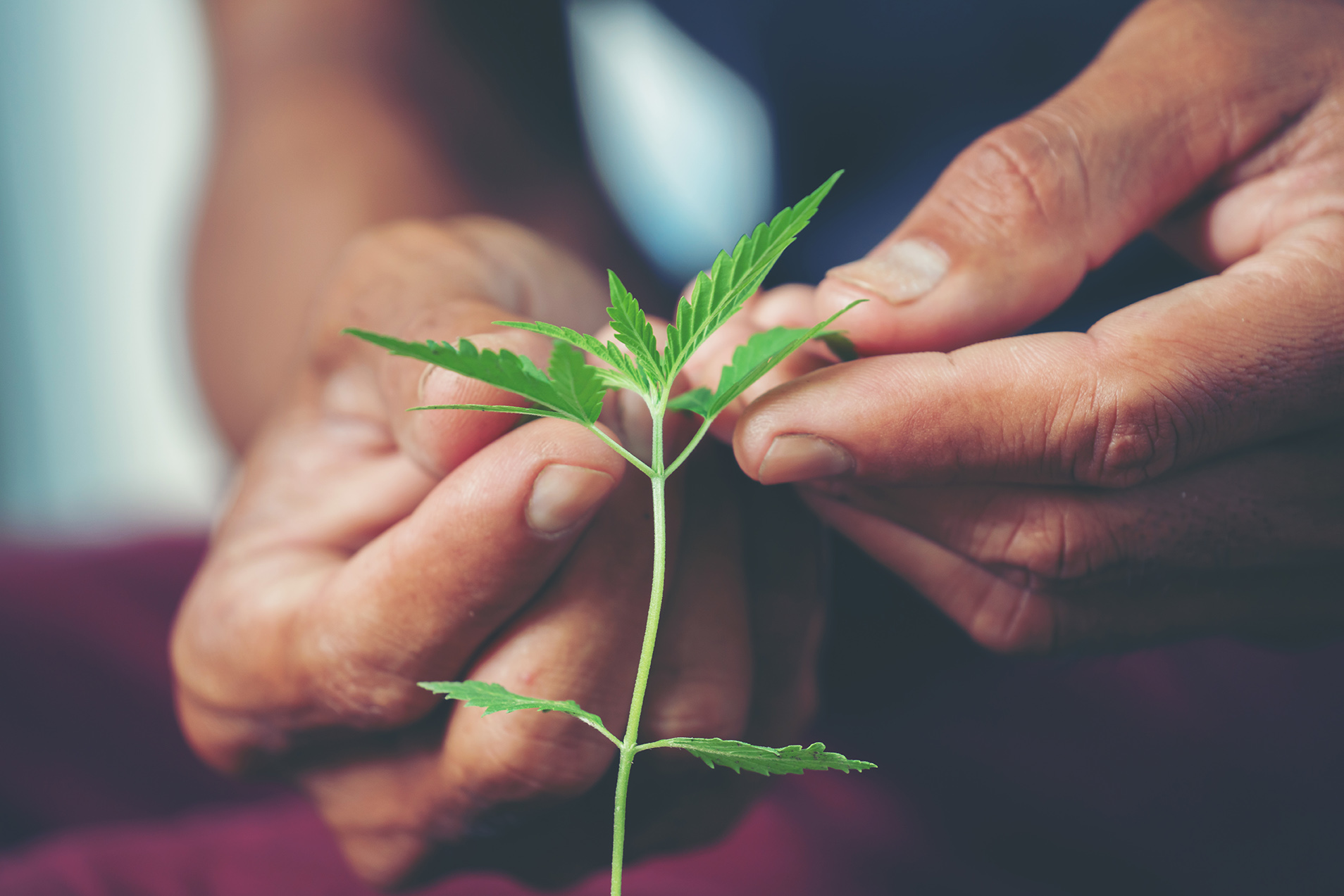 A person delicately checks the leaves of a small cannabis plant.