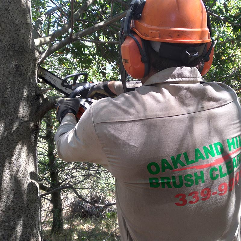 Small tree pruning in Oakland, CA