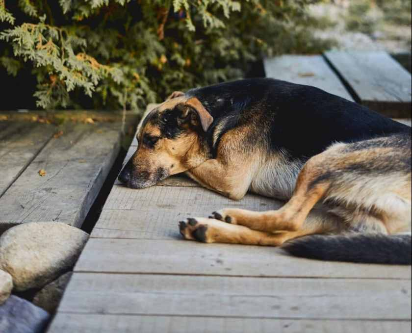 German Shepard Lying on Wood Walkway