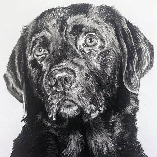Donkere Labrador Houtskooltekening