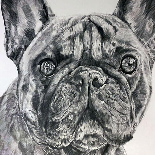 Franse bulldog A3 grafiettekening