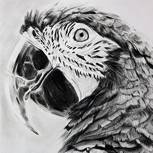Papegaai houtskooltekening A4