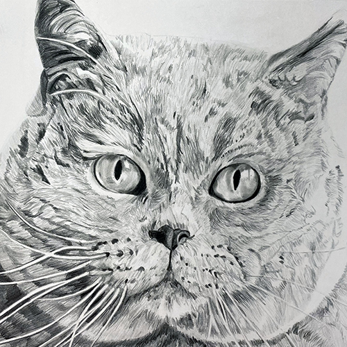 Britse Korthaar Rufus katten tekening A4 grafiet