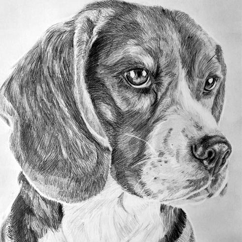 Beagle hondentekening A4 grafiet
