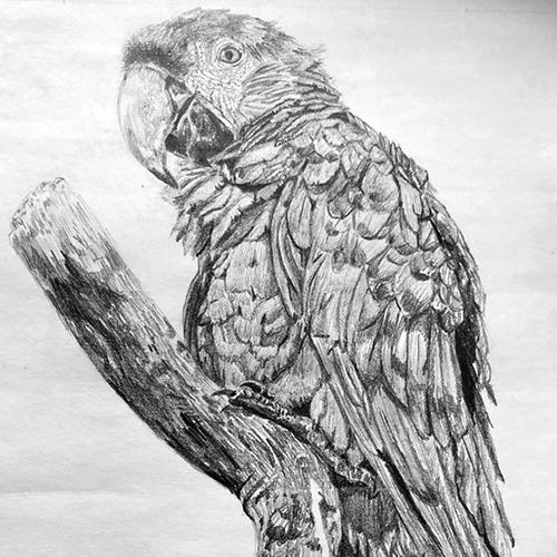 Papegaai tekening A4 grafiet