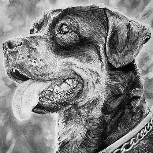 Rottweiler tekening grafiet A4