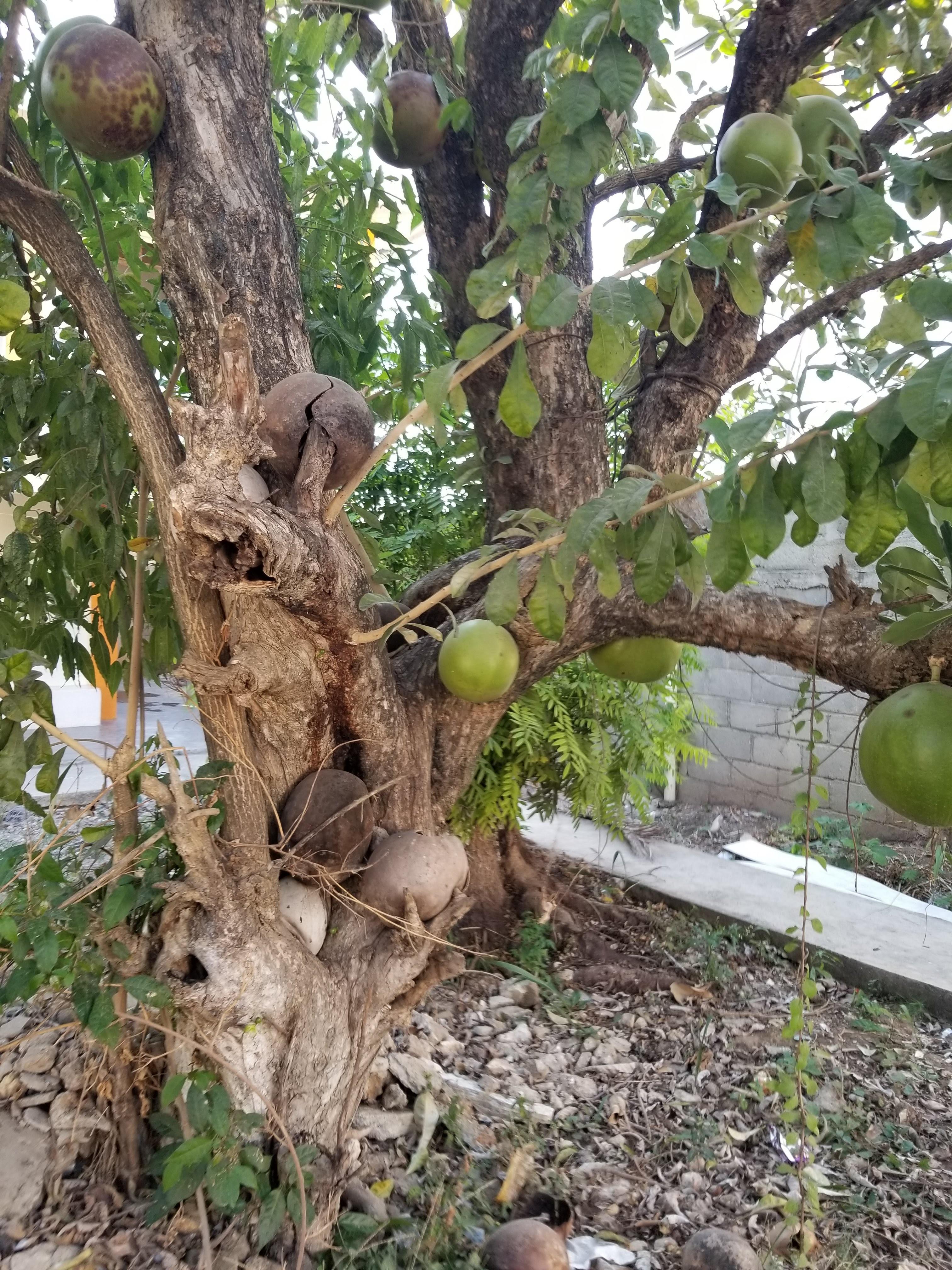 Mango Tree Image