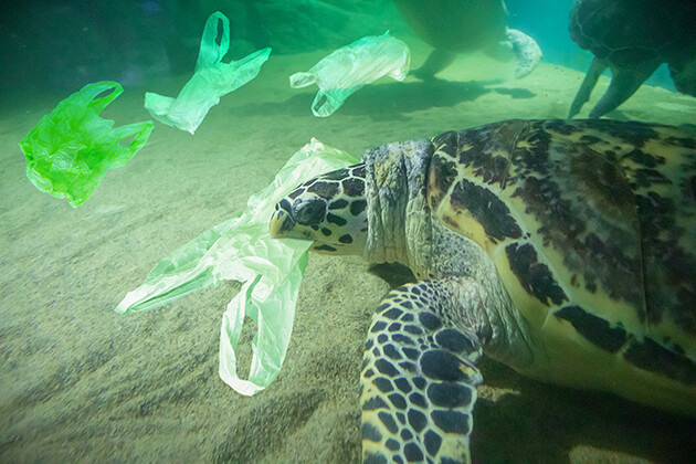 Turtle affected by sea pollution