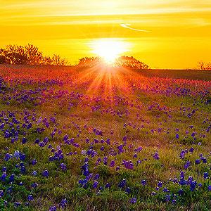 Sunset on field of flowers