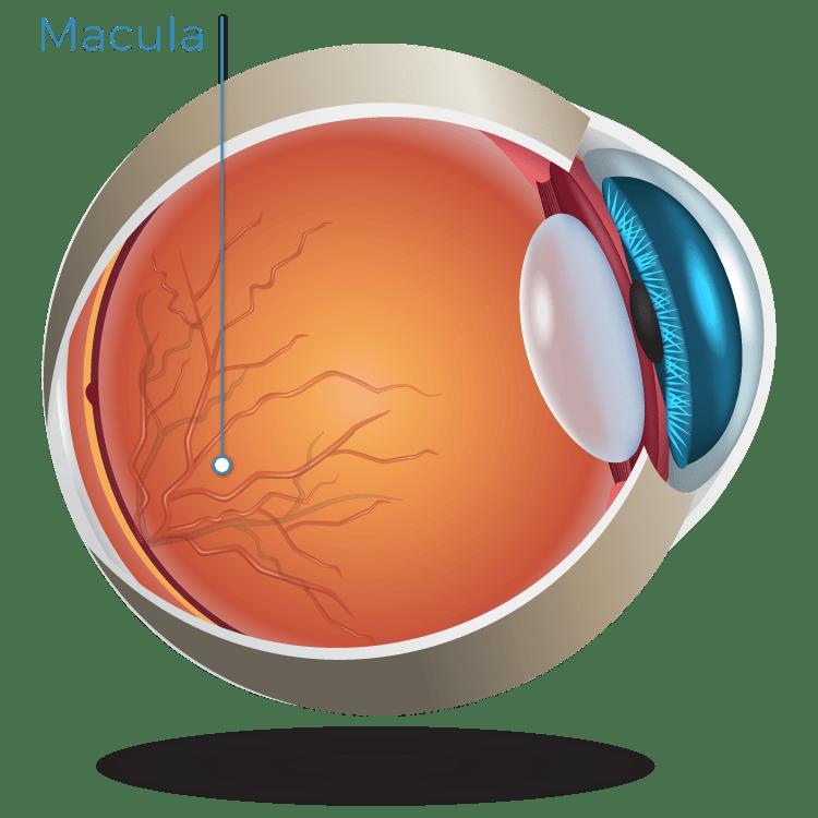The Macula