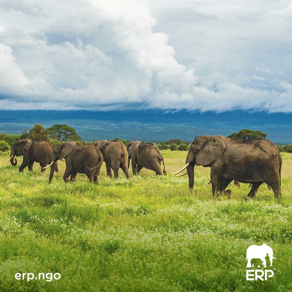 Elephants walking in green field