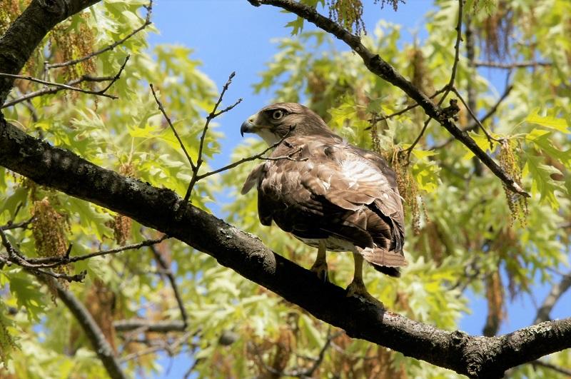 Red-tailed Hawk, Oak Grove Cemetery, Springfield, 5-15-2021