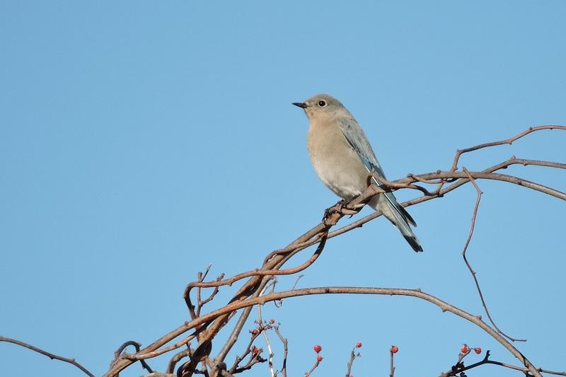 Mountain Bluebird, Francis A Crane WMA, Falmouth, 12-5-2015