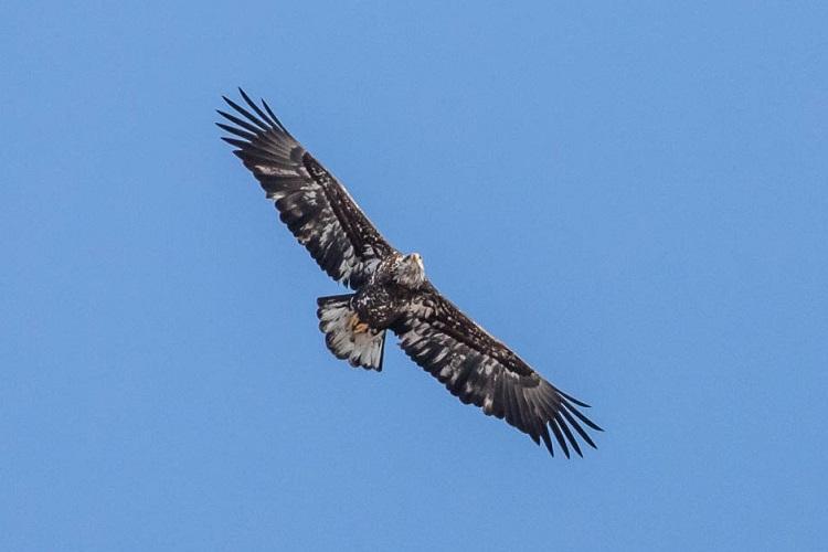 Bald Eagle, Stebbins Refuge, Longmeadow