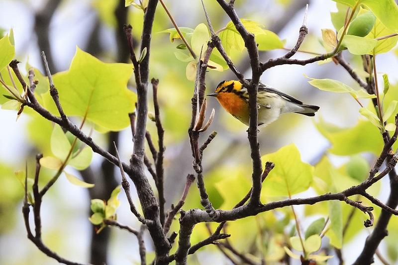 Blackburnian Warbler, Granville, May 2021