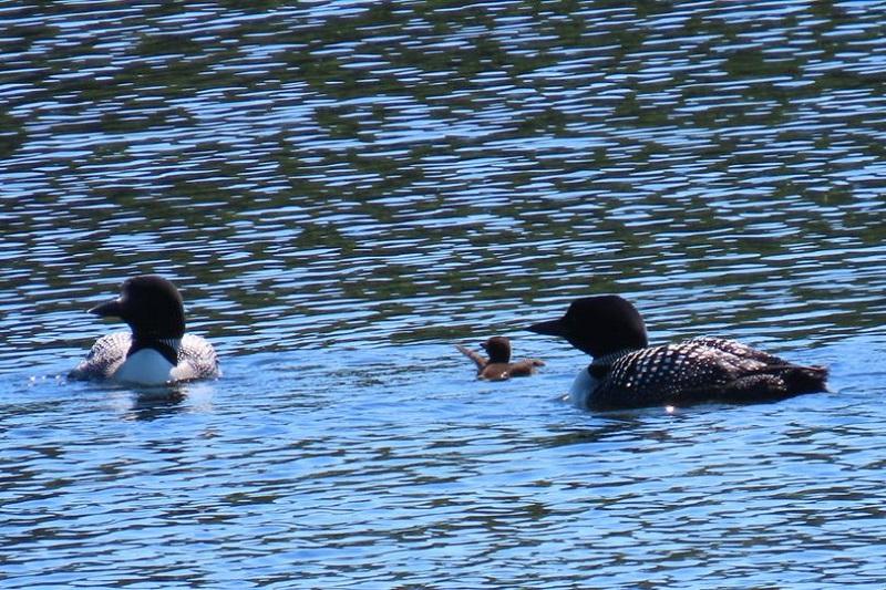 Common Loons, Ludlow Reservoir, 6-24-2021