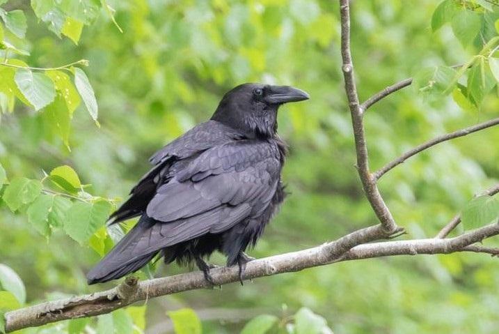 Common Raven, Quabbin Reservoir, 5-22-2021