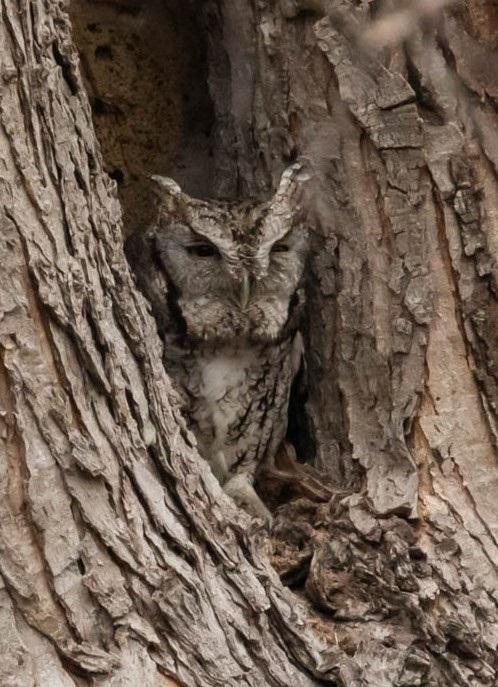 Eastern Screech Owl, Stebbins Refuge, Longmeadow, 2-5-2021