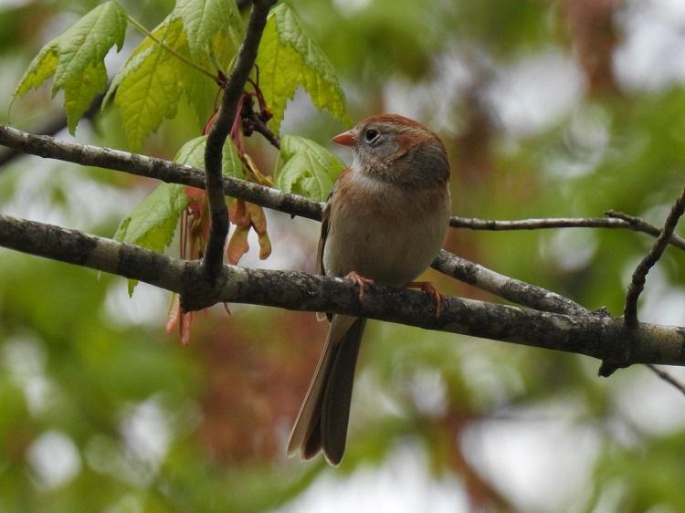 Field Sparrow, Monson, May 2021