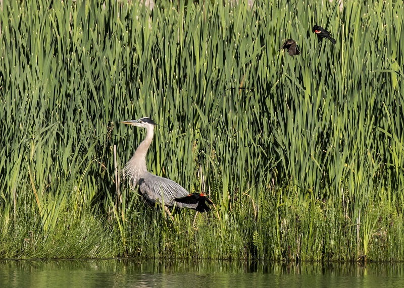 Great Blue Heron and Red-winged Blackbirds