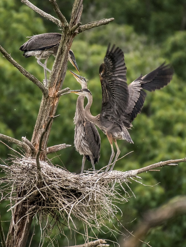Great Blue Heron young at nest
