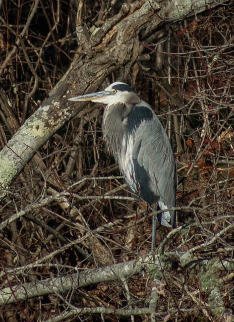 Great Blue Heron, Marstons Mills, 12-5-2015
