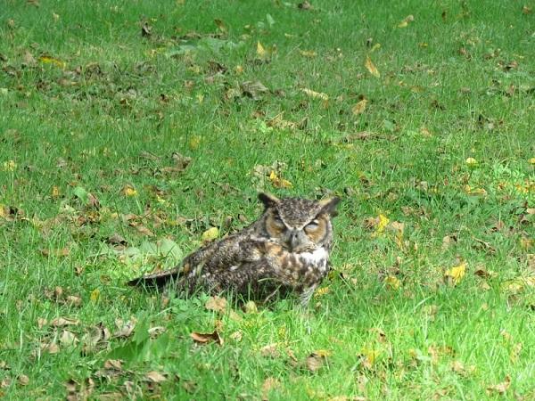 Great Horned Owl, Stebbins Refuge, Longmeadow, 9-15-21