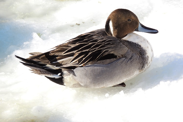 Northern Pintail, winter