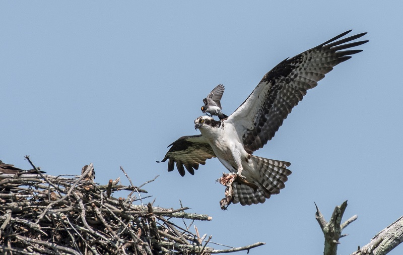Osprey and Eastern Kingbird