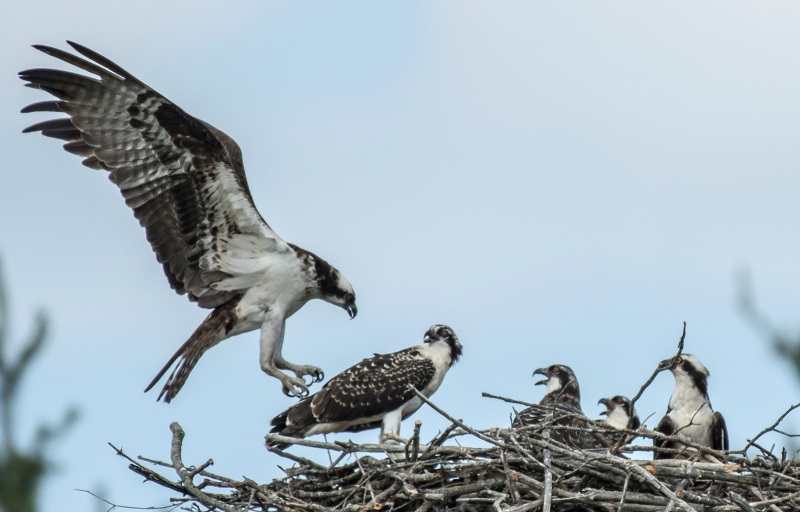 Osprey at nest with nestlings