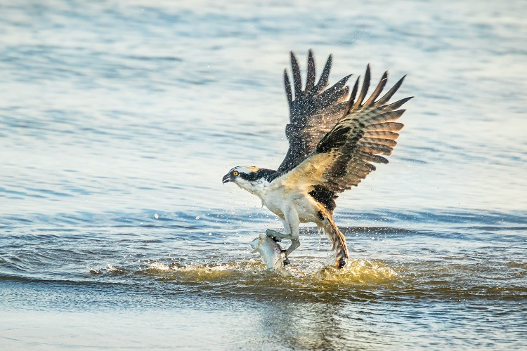 Osprey, Merritt Island FL