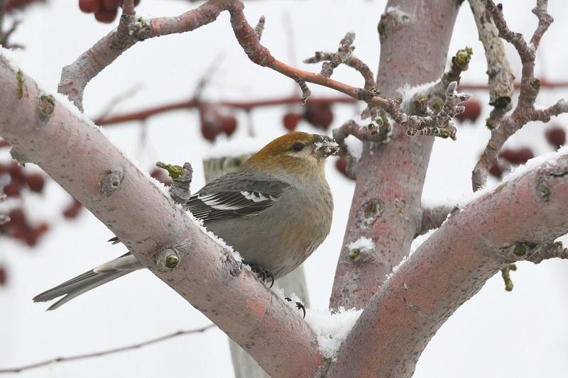 Pine Grosbeak, winter