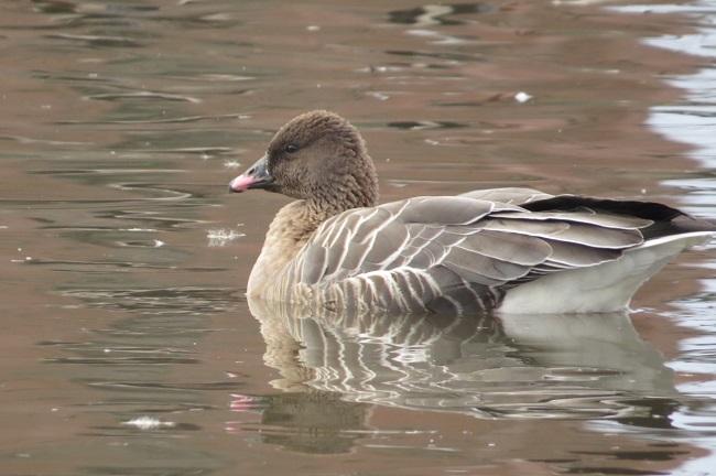 Pink-footed Goose, Cherry Hill Reservoir, West Newbury, December 2016