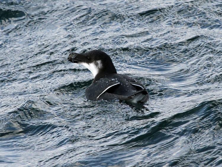 Razorbill, Cape Ann, 2-25-2012