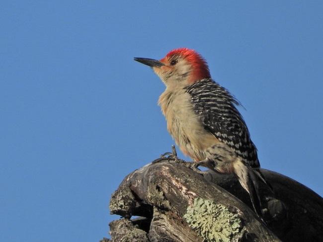 Red-bellied Woodpecker, Stebbins Refuge, 5-19-2021