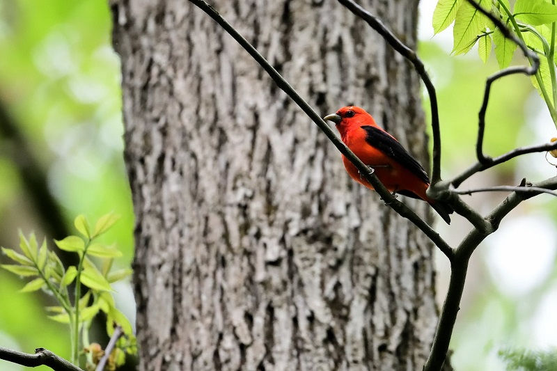 Scarlet Tanager, Granville, May 2021
