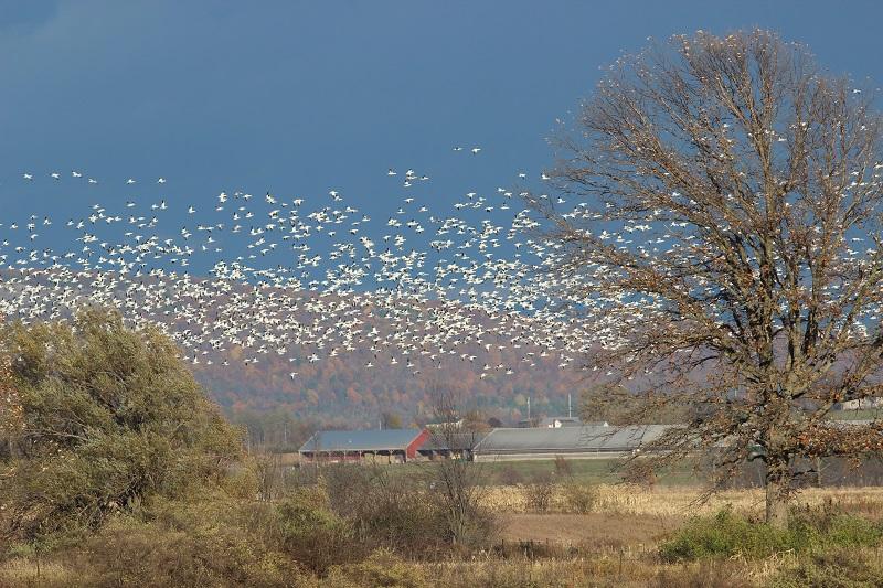 Snow Geese, Dead Creek VT, 11-1-2015