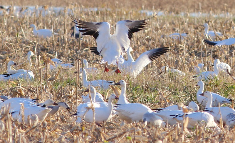 Snow Geese 2, Dead Creek VT, 11-1-2015