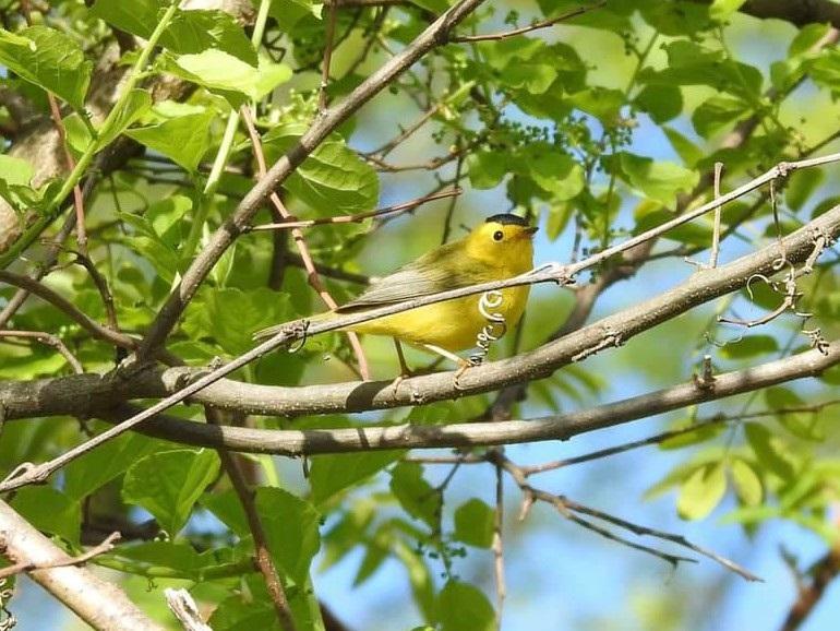 Wilson's Warbler, Stebbins Refuge, Longmeadow, 5-12-21