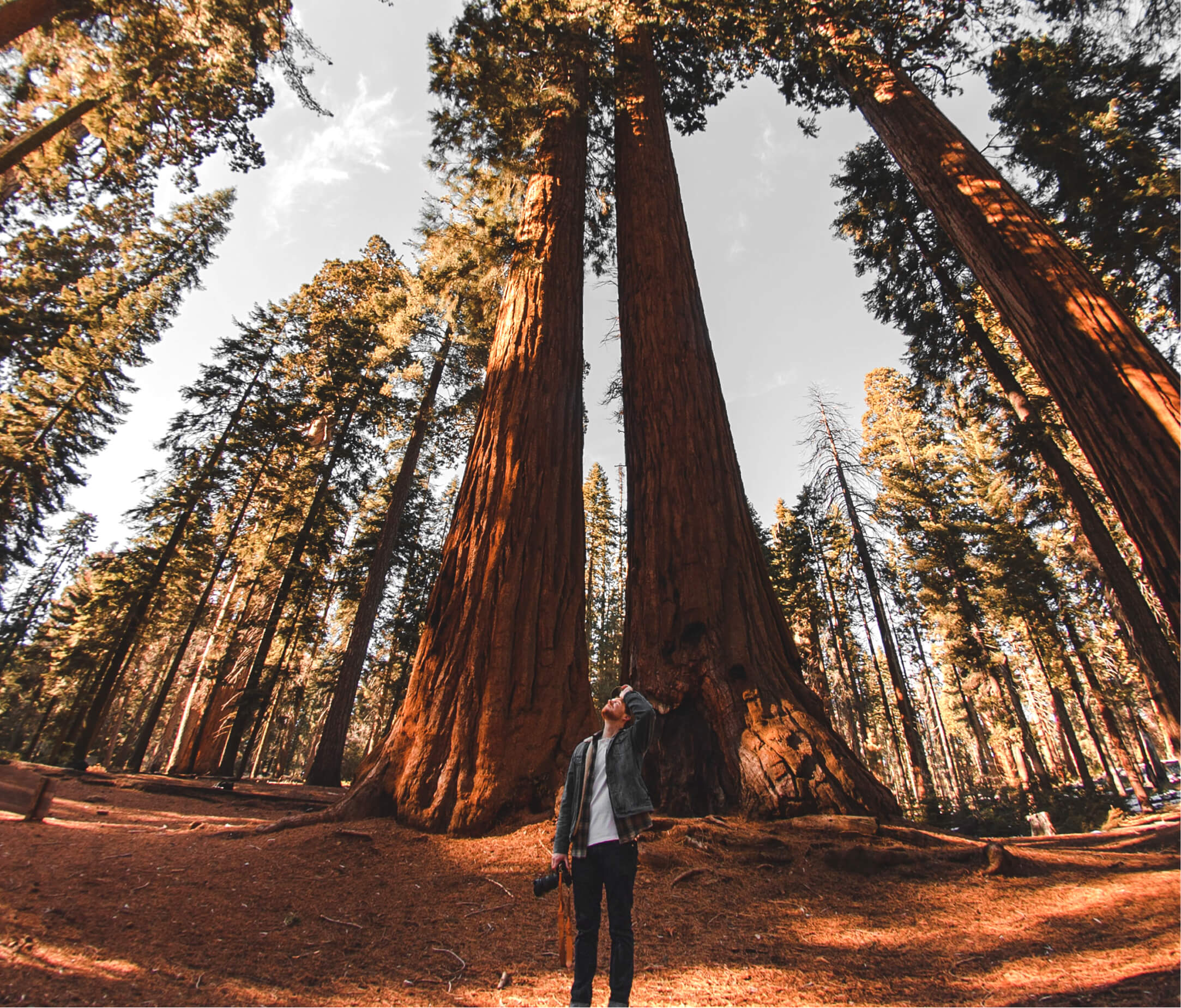 Man holding a camera while looking up at a pair of tall redwood trees in a forest.