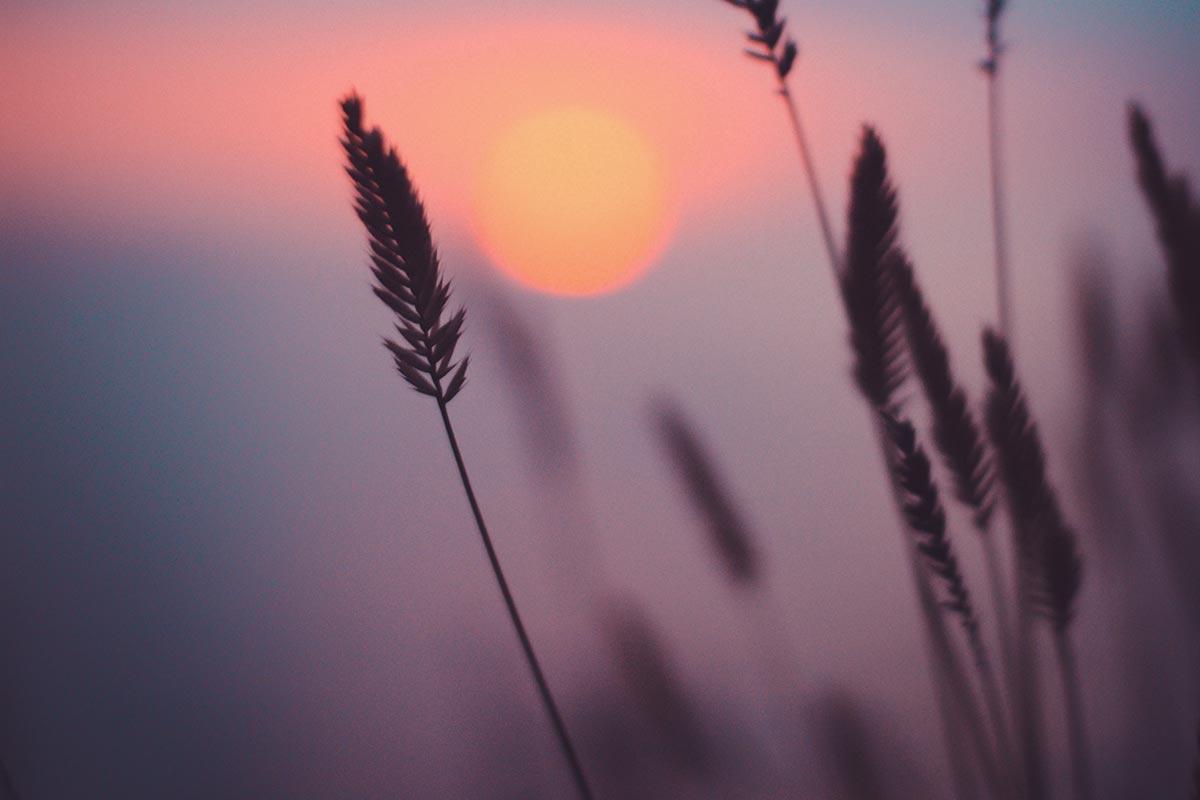 Gress i vakker solnedgang - Parweb