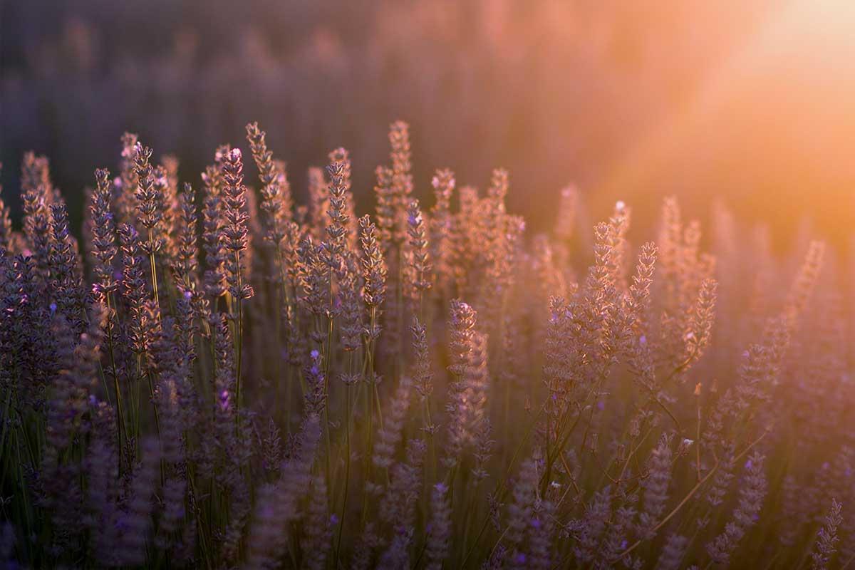 Lavendel ved solnedgang - Parweb