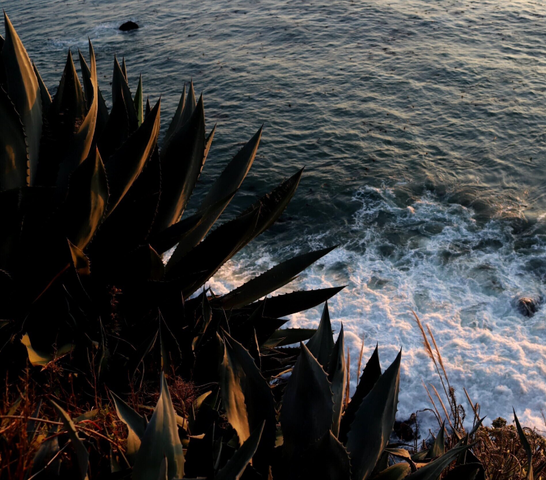 A close-up photograph of a dark green plant with long, pointed leaves. The ocean is in the background.