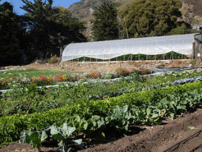 A photograph of a farm, showing rows of green plants in a variety of sizes and shapes. In the background, there is a structure covered in a plastic sheet and some trees.