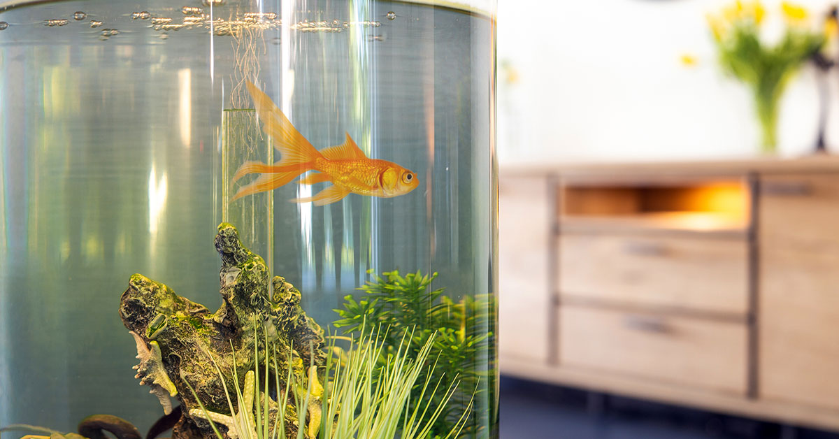 Gold fish in the living room
